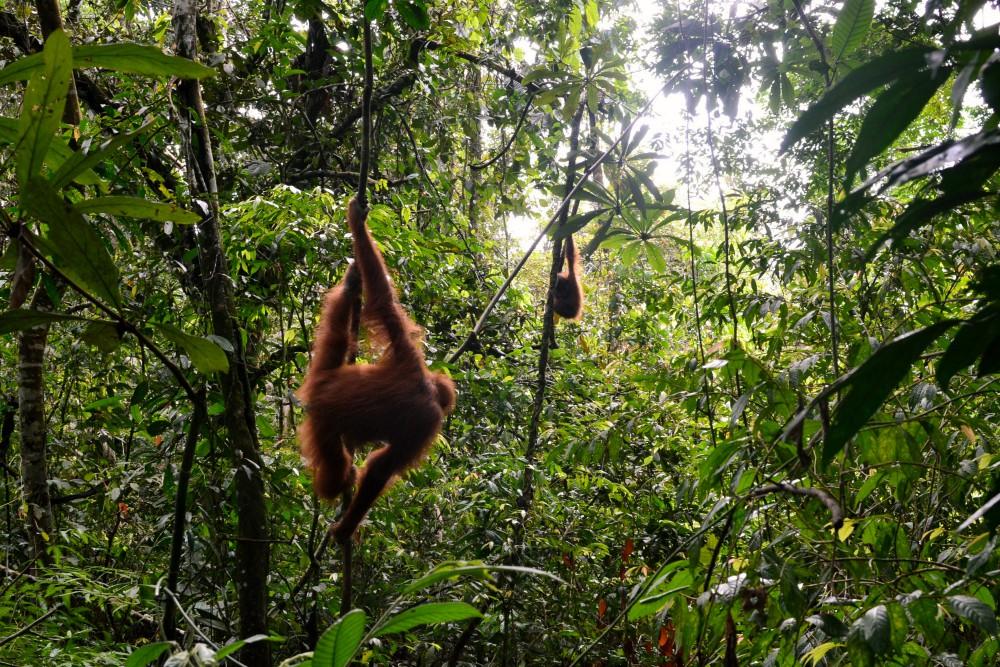 Sumatra | Oranki