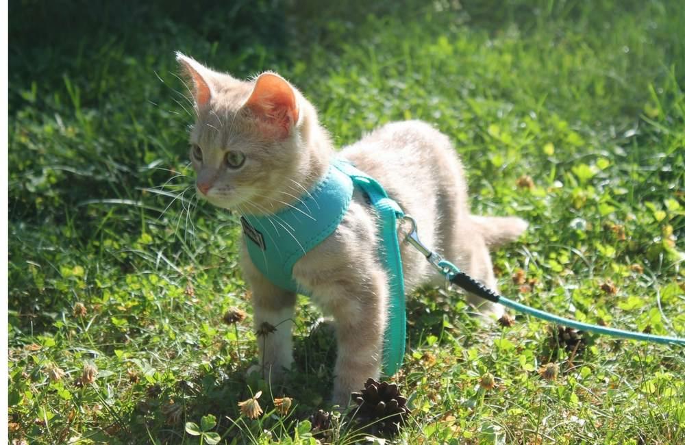 Kissan ulkoilu | Kissa valjaissa nurmikolla.