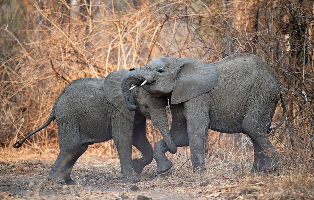 Elefantit Sambiassa.