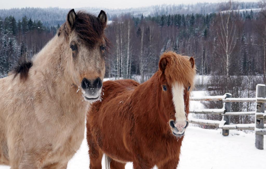 Kolin Paimentuvan hevosia.