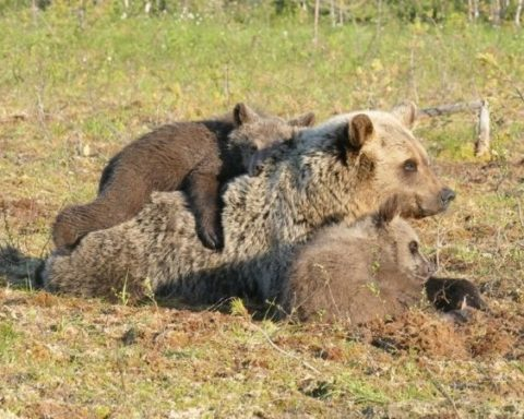 Martinselkosen eräkeskuksen lähellä olevat karhut.